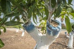 Verpflanzung des Mangobaums lizenzfreie stockfotografie