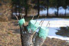 Verpflanzung des Obstbaumes Stockfotografie