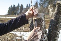 Verpflanzung des Obstbaumes Lizenzfreie Stockbilder