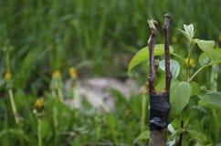 Verpflanzung von Obstbäumen lizenzfreies stockbild