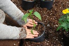 Verpflanzungsanlagen Stockfoto