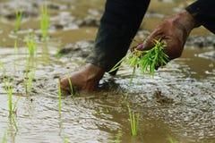 Verpflanzungspaddyschößlinge stockfoto