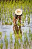 Verpflanzungsreissämlinge des Landwirts im Reisfeld lizenzfreies stockbild