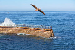 Verpletteren van de Golven ~ van de Pelikaan van Californië het Bruine tijdens de vlucht Royalty-vrije Stock Afbeelding
