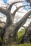 Verrückte blattlose Baum-Nahaufnahme-Vertikale Stockfotos