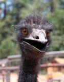 Verrückter Emu Lizenzfreie Stockfotos