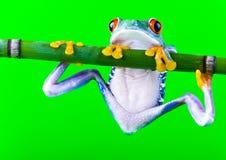 Verrückter Frosch Lizenzfreies Stockfoto