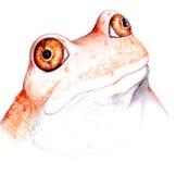 Verrücktes Froschportrait Stockbild