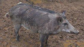 Verraco en el parque zoológico del contacto Parque nacional de la isla de los alces almacen de video