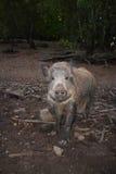 Verraco salvaje Foto de archivo libre de regalías