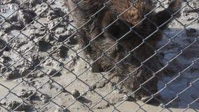 Verraco salvaje en fango almacen de metraje de vídeo