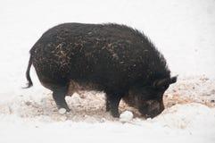 Verraco salvaje en invierno Imagen de archivo