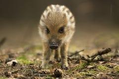 Verraco salvaje joven Foto de archivo libre de regalías