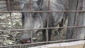 Verraco salvaje Pequeño cerdo almacen de metraje de vídeo
