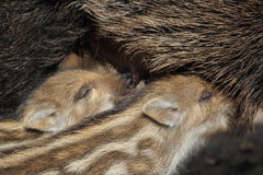Verracos salvajes jovenes Fotografía de archivo libre de regalías