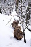 Verracos salvajes o cerdos salvajes (scrofa del Sus) en la nieve Imagen de archivo