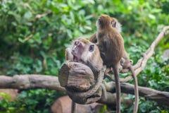 Verraste aap met 2 apen royalty-vrije stock fotografie
