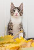 Verraste gestreepte katjeszitting op esdoornbladeren Royalty-vrije Stock Afbeeldingen
