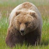 Verrat d'Alaska d'ours brun Photographie stock libre de droits