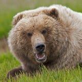 Verrat d'Alaska d'ours brun Photo libre de droits