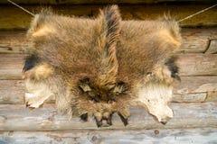 Verrat de fourrure d'animaux sauvages accrochant sur le mur à la maison en bois dehors image libre de droits