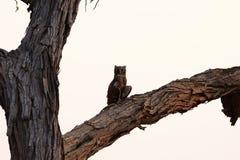 Verraux of Reuzeeagle owl stock afbeeldingen