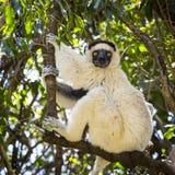 Verraux Sifaka que se coloca en un árbol de la rama foto de archivo