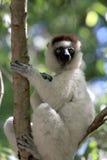 Verraux Sifika Lemurs Stock Image