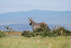 Verre Zebra royalty-vrije stock foto's