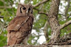 Verreaux的老鹰猫头鹰在克留格尔国家公园 免版税库存照片