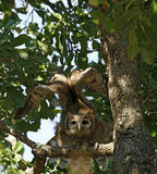 Verreaux的老鹰猫头鹰离开 库存图片