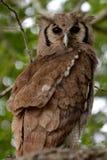 Verreaux的老鹰猫头鹰(腹股沟淋巴肿块lacteus) 库存照片