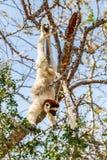 Verreaux的Sifaka狐猴 库存图片