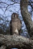 verreaux сыча орла s Стоковое фото RF