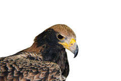 Verreaux eagle (Aquila verreauxii). Head of a young Verreaux's eagle isolated Royalty Free Stock Images