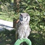 Verreaux& x27 ; Eagle-hibou de s et x28 ; Lacteus& x29 de Bubo ; photos stock