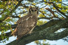 Free Verreaux Eagle-owl Eyes Camera From Lichen-covered Branch Royalty Free Stock Photos - 181884318