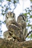 Verreaux ` s老鹰猫头鹰在克鲁格国家公园,南非 免版税图库摄影