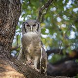 Verreaux ` s老鹰猫头鹰在克鲁格国家公园,南非 图库摄影