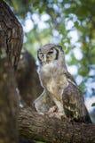 Verreaux ` s老鹰猫头鹰在克鲁格国家公园,南非 免版税库存图片
