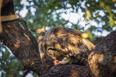 Verreaux ` s老鹰猫头鹰在克鲁格国家公园,南非 库存图片