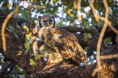 Verreaux ` s老鹰猫头鹰在克鲁格国家公园,南非 免版税库存照片