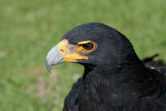 Verreaux's (Black) Eagle. Verreaux's or African Black Eagle, South Africa Royalty Free Stock Photography