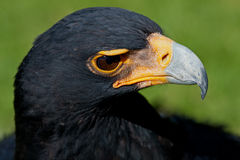 Verreaux's (Black) Eagle. Verreaux's or African Black Eagle, South Africa Stock Photos
