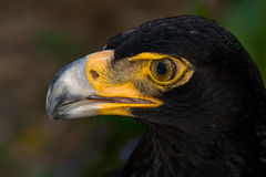 Verreaux's Eagle Stock Image