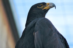 Verreaux's Eagle Stock Photo