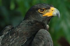 Verreaux's eagle Royalty Free Stock Images