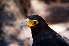 Verreaux's Eagle Aquila verreauxii royalty free stock photos