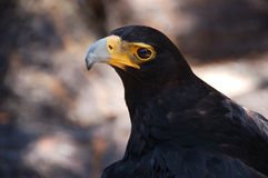 Verreaux's eagle or Black eagle Stock Photo