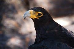 Verreaux's eagle or Black eagle Stock Photo